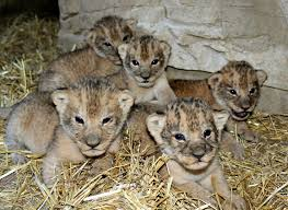lions for sale 32 best adorable savage animals images on baby animals