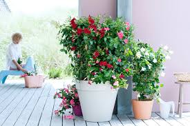 Mandevilla Plant Diseases - garden plant of the month for may mandevilla flower council