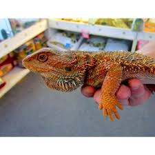 red phase bearded dragons amazing amazon