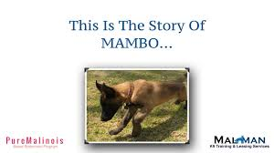 belgian shepherd los angeles mambo story series belgian malinois puppy stories youtube