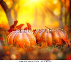 pumpkins field sunset thanksgiving fall background stock photo