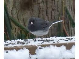 Nj Backyard Birds by Backyard Feeder Birds The Junco Our Winter Snowbird East