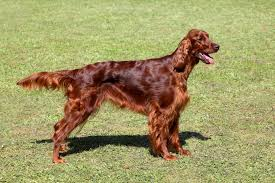 belgian shepherd for sale ireland irish setter dogs and puppies for sale in the uk pets4homes
