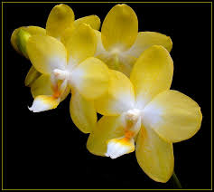 yellow orchids yellow orchids 6 by thom b foto on deviantart floral yellow