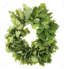 wreath of oak leaves isolated on white latvian midsummer holiday