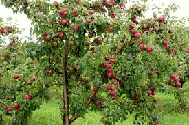 Symbolism Of A Tree by Interpretation Of A Dream In Which You Saw Apple Tree