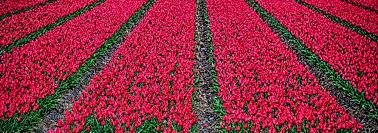 tiptoe through the tulips in keukenhof gardens in the netherlands