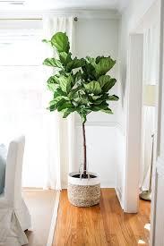 indoor tree indoor trees that spruce up any space best 25 indoor