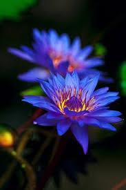 Blue Lotus Flower Meaning - blue lotus psychoactive u2026 pinteres u2026