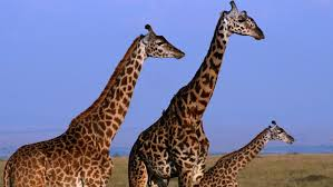 how tall can a giraffe grow reference com
