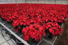 Pointsettia The Poinsettia Reinvented And Still Going Strong The Washington