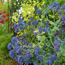 school annuals online cerinthe major purpurascens blue honeywort buy online at