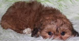 shichon haircuts zuchon puppies tiny teddy bear zuchon puppies tinyteddys com