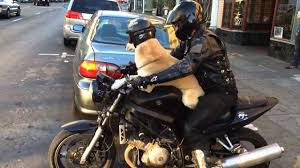 lexus motorcycle dog dons helmet and goggles for cute motorcycle ride in oakland