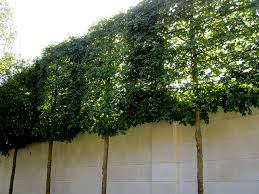 privacy screening pleached trees and limestone wall dans le