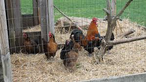 Chickens For Backyard Keep Safe Keeping Backyard Chickens Agweek