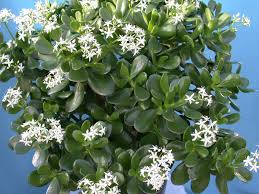jade plant for good luck prosperity and friendship world of