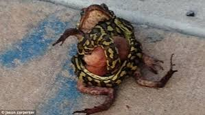 How To Get Rid Of Cane Toads In Backyard Python Goes On Murderous Cane Toad Rampage In Darwin Casino Car