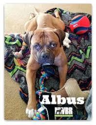 boxer dog utah boxer dog for adoption in kanab ut adn 516983 on puppyfinder com