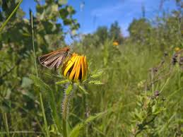 endangered butterfly shows trouble is waiting in the wings