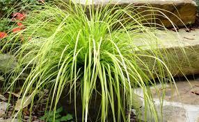 carex oshimensis everillo a golden light in the garden deb s