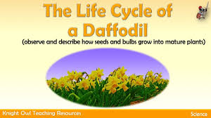 Life Cycle Of A Flowering Plant - the life cycle of a daffodil 1 jpg