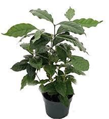 hirt s arabica coffee bean plant 6 pot grow