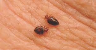 what do bed bug bites look like long do bed bug bites itch tips and facts about bed bug bites