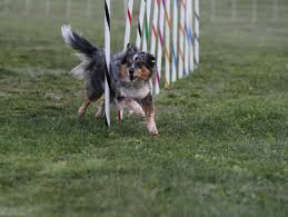 sims 3 australian shepherd fete fido at south hill celebration the spokesman review