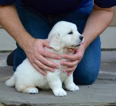 about us english cream golden retrievers lake country goldens