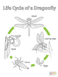 life cycle of a dragonfly coloring page free printable coloring