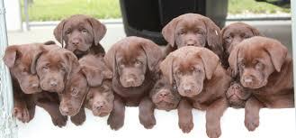 tucker u0027s current upcoming litters chocolate labrador puppies