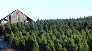wood mountain christmas trees