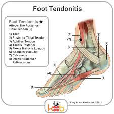 Foot Tendons Anatomy Tendons Of The Foot Human Anatomy Charts