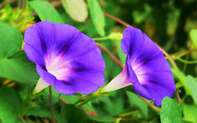 morning glory plant care tips growing planting cutting pruning