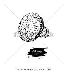 vector illustration of shiitake mushroom hand drawn vector