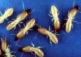 Winged Termites In Bathroom Everything You Need To Know About Termites Part 2 Insight Pest