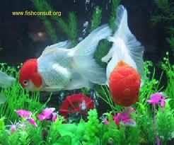 Buy Ornamental Fish Culture Of Ornamental Fish In Srilanka Fish Consulting