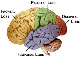 Part Of The Brain Stem That Is Involved In Arousal Brainstem Thalamus Reticular Formation U0026 Cerebellum The Old