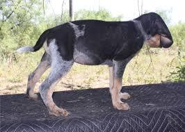 bluetick coonhound price pedigree for smokey tank x southern oakley blue u0027s pups