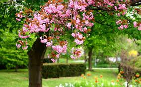 flowers pink flowers beautiful blooming wallpaper flowers