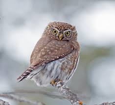 northern pygmy owl facts animals of north america worldatlas com