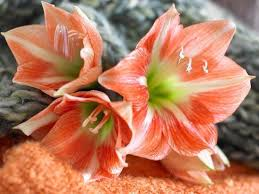 Amaryllis Flowers Learn How To Plant Care Or Get Your Amaryllis To Re Bloom