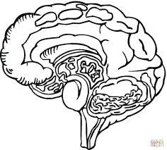 human brain anatomy coloring page printable pages human pages