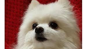 american eskimo dog food petition american kennel club american kennel club rename
