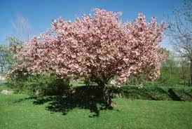 small ornamental trees for a backyard landscape home guides sf
