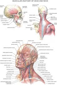 The Human Ear Anatomy Anatomy Of The Human Ear And Neck Anatomy Behind Ear Neck Diagram