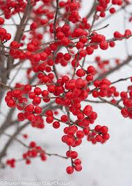 native chinese plants berry poppins winterberry ilex verticillata proven winners