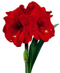 amaryllis flower amaryllis merry christmas christmas flowering single amaryllis