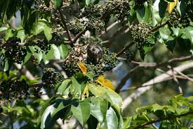 native plants perth a great tree for the garden birds in backyards